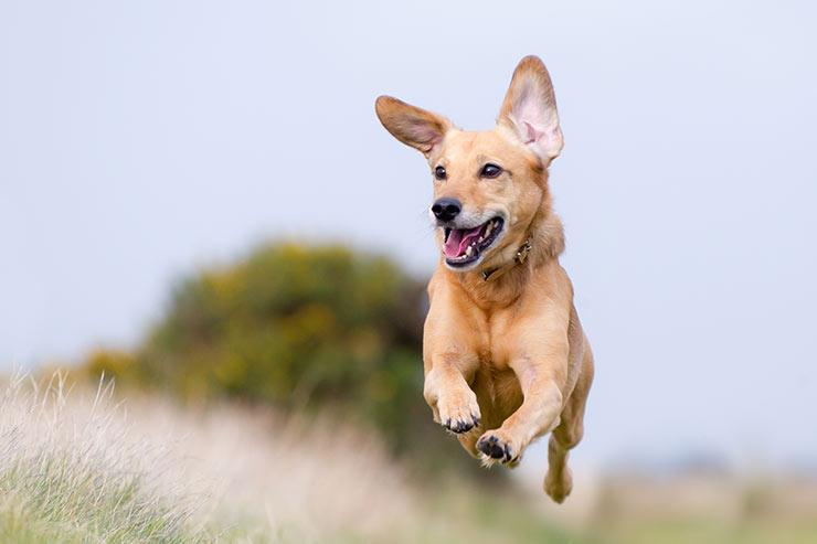 koira juoksee
