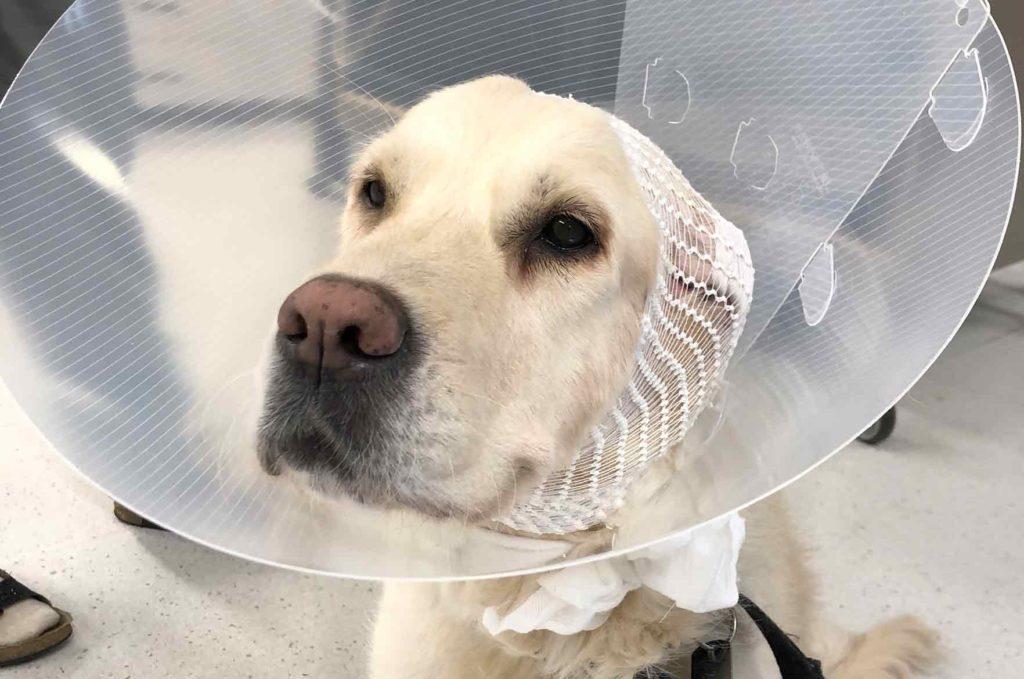 Koiran verikorva operaation älkeen